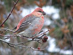 Pine grosbeak17.jpg