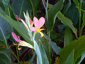 Canna (plant) - Canna 'Pink Dancer' in Escambray Mountains, Cuba