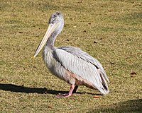 Pink backed pelican side view.jpg