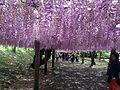 Pink wisteria in Kawachi Wisteria Garden 20150509-4.jpg