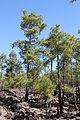 Pinus canariensis Tenerife Chio TF-36 pine forest Los Hoyos IMG 4831.JPG