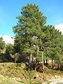 Pinus pinaster mesogeensis.JPG