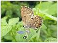 Plains Cupid (14882970830).jpg
