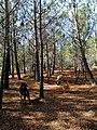 Planícies da Costa Vicentina cobertas de comuns pinheiros-bravos (Pinus pinaster).jpg