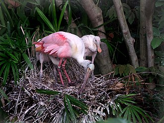 Roseate spoonbill - Adult with two juveniles on a nest