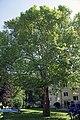 Platane605 Neuwaldegg.jpg