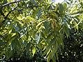 Platycarya strobilacea.jpg