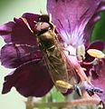 Platycheirus peltatus (male) - Flickr - S. Rae.jpg