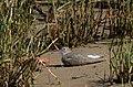 Playero Alzacolita, Spotted Sandpiper, Actitis macularius (11915942796).jpg