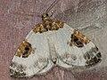 Plemyria rubiginata - Blue-bordered carpet - Ларенция двухцветная (40915603212).jpg