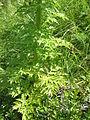 Pleurospermum austriacum005.jpg