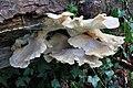 Pleurotus cornucopiae, Branching Oyster, mature, UK.JPG