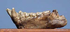 Astaracian - Image: Pliopithecus antiquus
