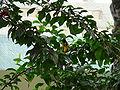 Ploceus cucullatus 0002.jpg