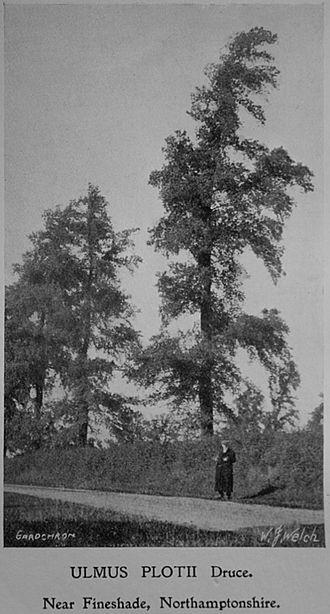 George Claridge Druce - Druce standing before Plot's Elms, Fineshade