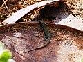 Podarcis filfolensis Linosa 001.jpg
