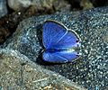 Pointed Ciliate Blue Anthene lycaenina UP by Dr. Raju Kasambe 3657.jpg