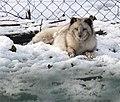 Polarfuchs im TierarkHellabrunn (12433817813).jpg