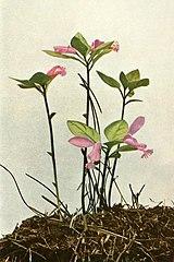 Polygaloides paucifolia WFNY-125B.jpg