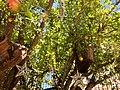 Pomegranate tree in Beit Castel, Safed, Israel.jpg