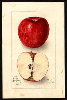 Winesap apple cultivar