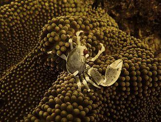 Porcelain crab - A Porcelain crab in Mauritius