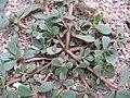 Portulaca oleracea02.jpg