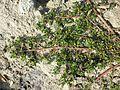 Portulaca oleracea sl2.jpg
