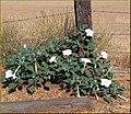 Post and Weeds, Redlands, CA 7-7-13 (9257060638).jpg