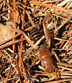 Potato bug cropped 4.jpg