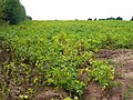 Potato field west of Biddlestone - geograph.org.uk - 979073.jpg