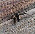Potter mason wasp Eumeninae (38873284601).jpg