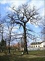 Praha - obora Hvezda - pamatny strom 1.jpg