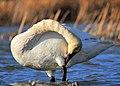 Preening Trumpeter Swan Seedskadee NWR (16783440287).jpg