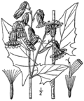 Prenanthes crepidinea BB-1913.png