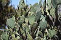 Prickly Pear Cactus (33246167723).jpg