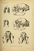 Proceedings of the Zoological Society of London (Mammalia Plate X) (7629934254).jpg
