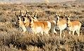 Pronghorn Herd Seedskadee NWR (16048130897).jpg