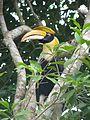 Proud hornbill (8071512469).jpg