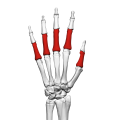 Proximal phalanges of the hand (left hand) 02 dorsal view.png