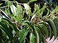 Prunus lusitanica blossom 2010 5 09 DehesaBoyalPuertollano.jpg