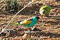 Psephotus dissimilis -Australia -pair-8.jpg