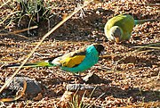 The females are green with a grey forehead and bright-blue tail. The males are bright-blue with a black forehead, yellow shoulders, and brown wings