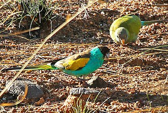 Hooded parrot - A pair in Australia. The male is in the foreground.