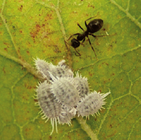 Comstock mealybug infestation