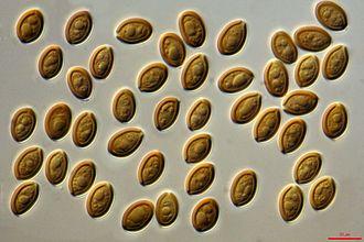 Psilocybe cubensis - Psilocybe cubensis spores, 1000x