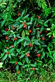 Psychotria poeppigiana.jpg