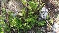 Pteridium aquilinum (Hypolepidaceae) 02.jpg