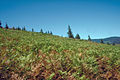 Pteridium aquilinum subsp pubescens 0976097.jpg
