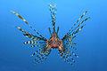 Pterois volitans Manado-e2.jpg